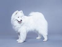 Samoyed Eskimo dog