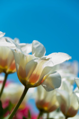 White tulips and a blue sky