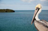 Pelican on the Seven Mile Bridge