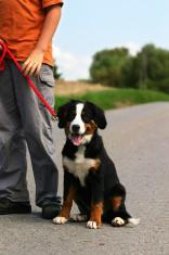 walk with dog puppy