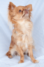 Chihuahua on colored background