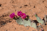 South west desert flowers
