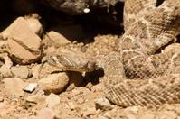 Western Diamond Backed Rattlesnake