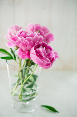 Soft Pink Natural Peony Flower