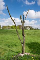 The Danger or Lone Tree for  Royal Newfoundland Regiment