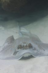 Bluespotted stingray at Surin island