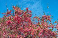 Blooming peach tree flowers