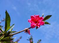 Blooming peach flower against blue sky