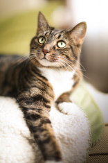 Tabby Cat poses for Picture