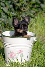 Chihuahua (puppy)