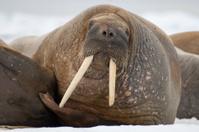 Walrus - Spitsbergen