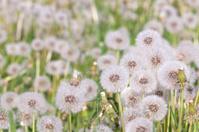 Dandelions in the field.