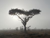 Heart-shaped boscia tree in the mist