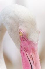 closed up flamingo eye