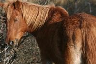 Wild Brown Pony