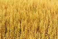 Golden oat field texture, background, selective focus.
