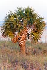 Florida Palmetto