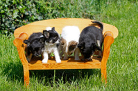 Chihuahuas (puppies)