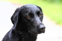 Potrait of a young Labrador Retriever