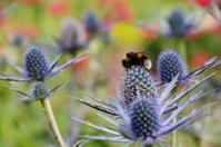 Bumblebee, U.K.