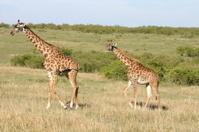 Masai-Giraffe (Giraffa camelopardalis tippelskirchi), Masai Mara