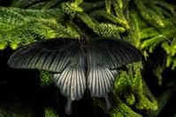 The Great Mormon (Papilio memnon)