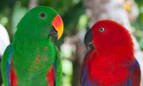 Pair of lori parrots