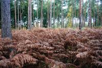 Ferns in an English wood