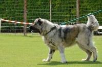 Caucasian Shepherd, working test