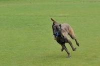 Malinois, Belgian Shepherd, training