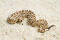 Sidewinder Rattlesnake with Forked-tongue