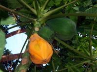 Fruit of a tropical tree, mango
