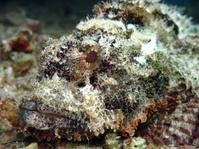 Bearded scorpionfish