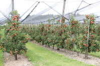 Apple orchard with hail protection nets