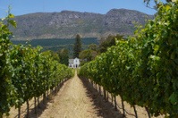 vineyard near cape town in south africa