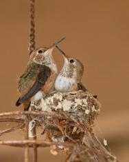 Juvenile Ruby Throated Hummingbirds