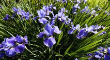 Siberian Iris flower