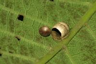 spider eggshell
