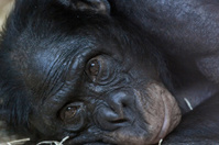 Bonabo Ape