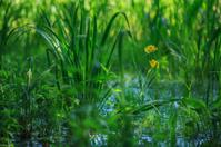 Yellow flower on a bog