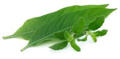 Medicinal herbs – Tulsi and Basak leaves