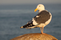 Western Gull Looking Back