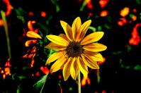 Blooming sunflower under the dusk sunshine
