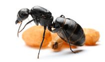Queen Ants C.vagus