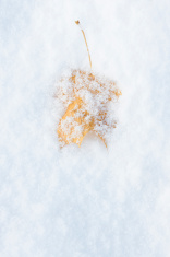 Yellow leaf on snow