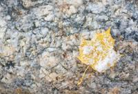 Snowy leaf on rock