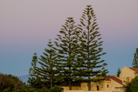 Tall trees at dusk