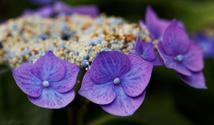 purple Hortensia (Hydrangea)