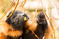 Red-bellied Lemur eating