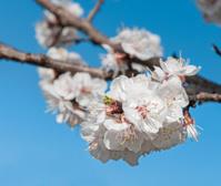Single Sungold Apricot (Prunus armerniaca) Blossom Against Blue